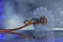 Close-up Shot Of A Common Dandelion And A Small Snail On It