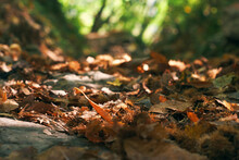 Mountain Path With A Carpet Of Chestnut Husks
