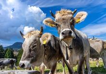Wandern Und MTB In Den Südtiroler Dolomiten: Zwei Hübsche Junge Braune Kühe Im Eggental Mit Halsband Und Kuhglocke