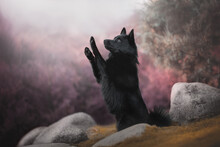 A Cute Schipperke Dog Raising His Paws In The Air While Sitting On Yellow Moss Among Gray Stones Against A Background Of Purple Bushes And A Bright Autumn Landscape. Trick Dog. Profile View
