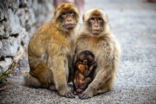 Mother And Baby Monkeys In Gibraltar
