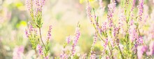 Forest Floor Of Blooming Pink And Purple Heather Flowers And A Spider Web, Close-up. Northern Evergreen Forest. Idyllic Autumn Scene. Pure Nature, Environment, Plants, Botany