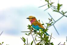 Oiseau Rollier à Longs Brins Coracias Caudata Oiseau Coloré Noir Vert Jaune Rouge Bleu  Afrique Kenya