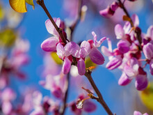 Close Up Shot Of The Eastern Redbud Blossom