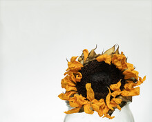 A Dried Up Wilted Sunflower In A Mason Jar Still Show Vibrant Yellow Petals And Contrasting Brown Seeds, Isolated Against White Background With Room For Text Or Type.
