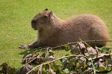 Capybara Hydrochoerus Hydrochaeris
