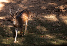 Chital Deer Also Called Spotted Deer Cervus Axis Is From Grasslands