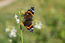 Red Admiral Butterfly (Vanessa Atalanta) Still Survives With Frayed Wings In Fall.