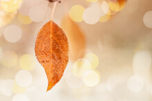 Yellow Orange Autumn Leaf With Raindrops Close Up On Blurred Natural Background With Bokeh. Rainy Weather At September Day