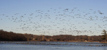 Beautiful View Of A Flock Of Canadian Geese Soaring Over Wyandotte County Lake, USA