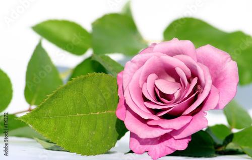 winter rose #116272