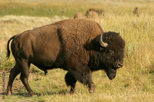 bison Fototapete
