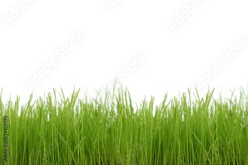 Fototapeta premium Zielona trawa