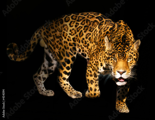 Fotografie, Obraz angry wild panther on black background