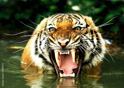 tiger of bengal Fototapet
