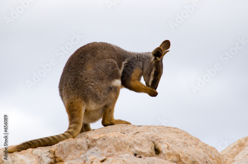 preening wallaby