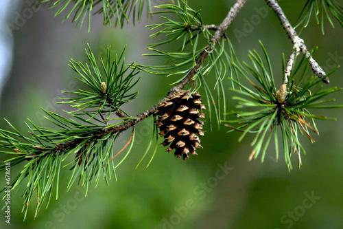 Photo pine cone closeup