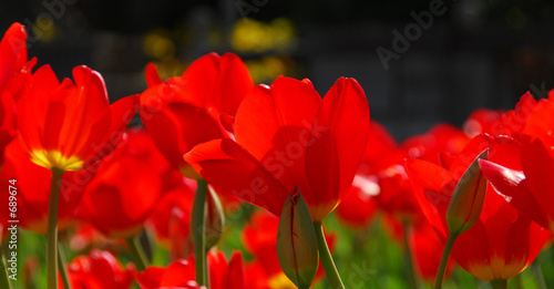 red tulips #689674