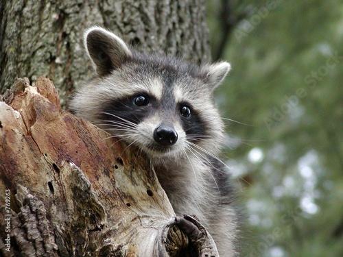 Fotografie, Obraz cute raccoon