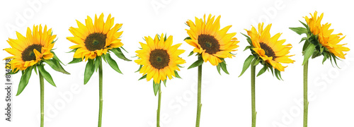 Fotografia sunflowers