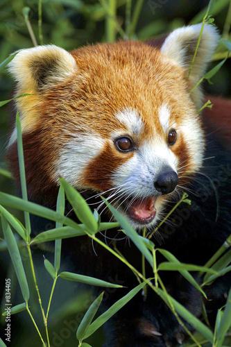 Fototapeta red panda portrait