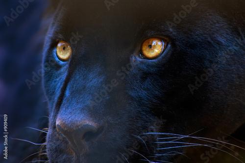 Obraz na plátně the eyes of a predator