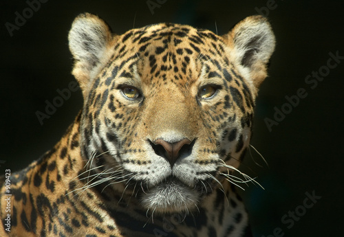 Fotografie, Obraz the look of a predator