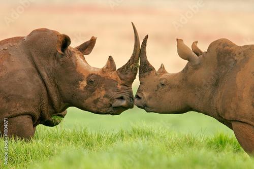 Stampa su Tela white rhinoceros