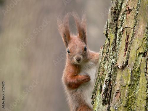 Fototapeta squirrel
