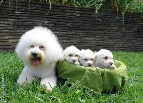 Photo bichon frise family