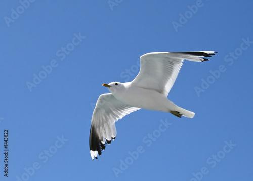 Photo soaring seagull
