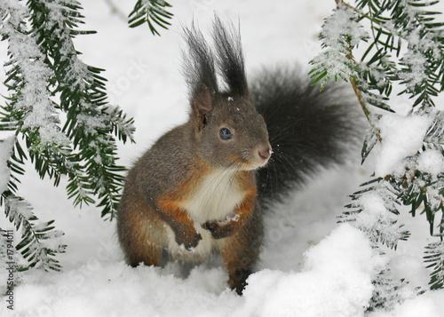 Obraz na plátně squirrel on the snow