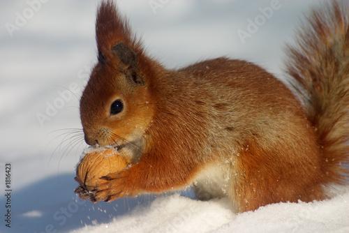 Obraz na plátně red squirrel with nut