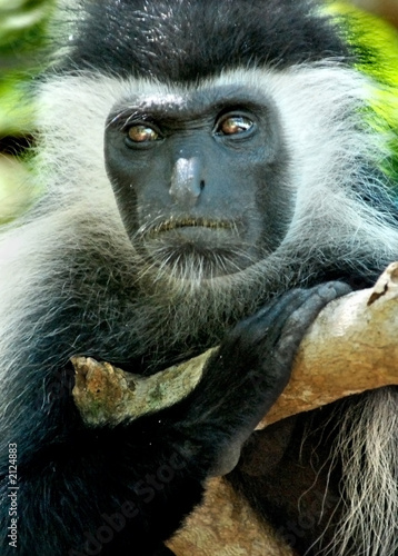 Canvas Print colobus monkey