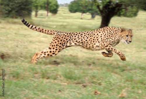 Fotografie, Obraz cheetah running