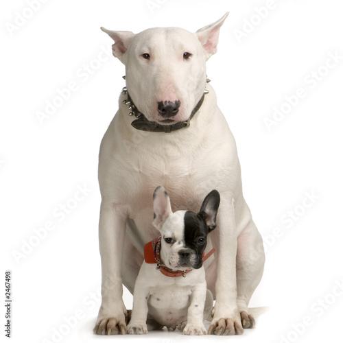 Fotografia bull terrier et bulldogue français