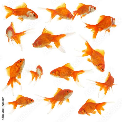 Obraz na plátně lots of goldfishes