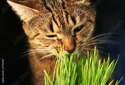 cat eathing grass #2702403