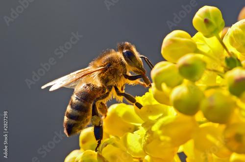 Fotografie, Obraz the bee in flower