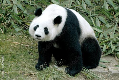 Obraz na plátně giant panda