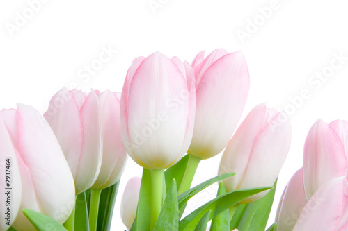 Fototapeta premium bukiet tulipanów