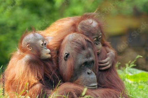 canvas print motiv - Eric Gevaert : mother orangutan with her babies