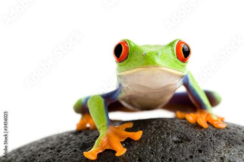 Fotografie, Tablou frog on the rocks