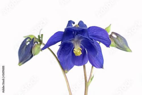 Slika na platnu Blue Columbine Flower