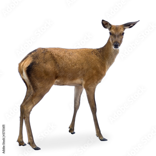 Fotografia deer in front of a white background and looking at the camera