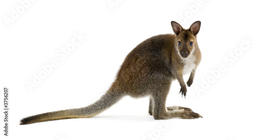 Wallaby in front of a white background
