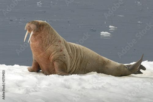 Fototapeta premium Walrus