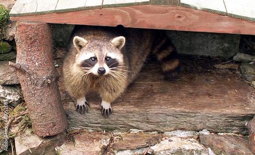 Obraz na plátně raccoon