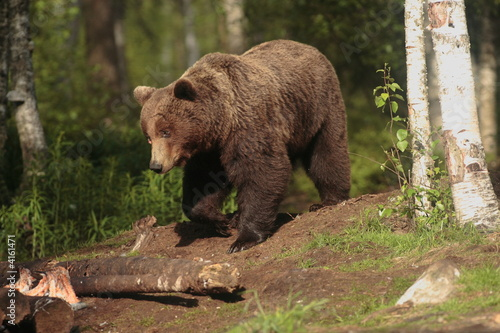 Fototapeta ours brun finlande