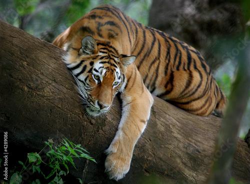 Canvas Print Tiger on tree